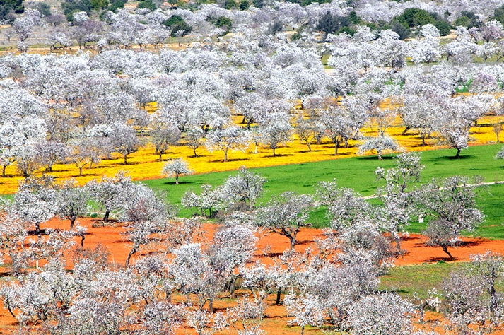almond tree flowering route in Ibiza