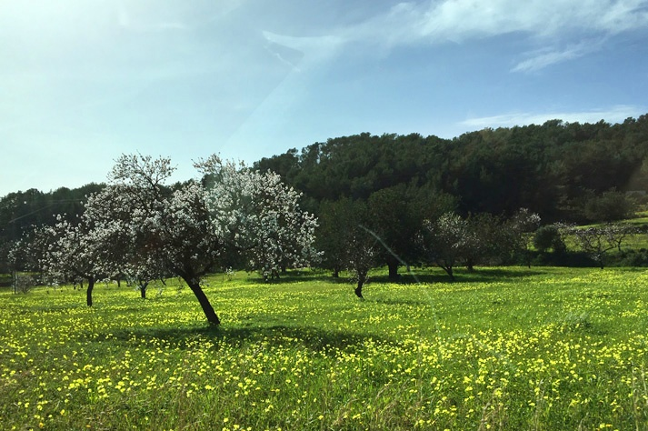 almond tree flowering route in Ibiza southern route